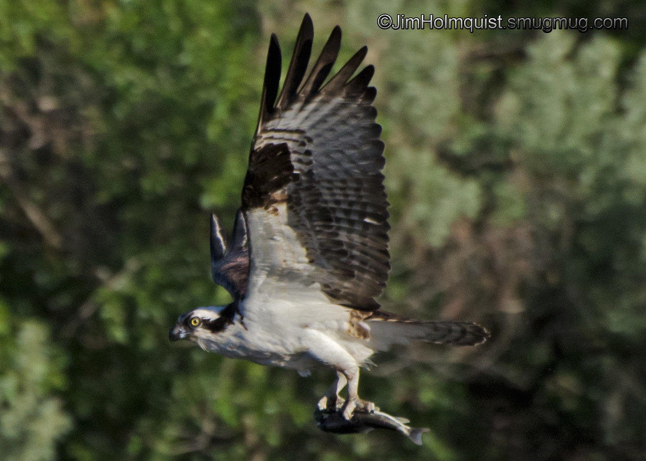 """F"" is for Fishing<br /> <br /> Osprey with a tasty catch."
