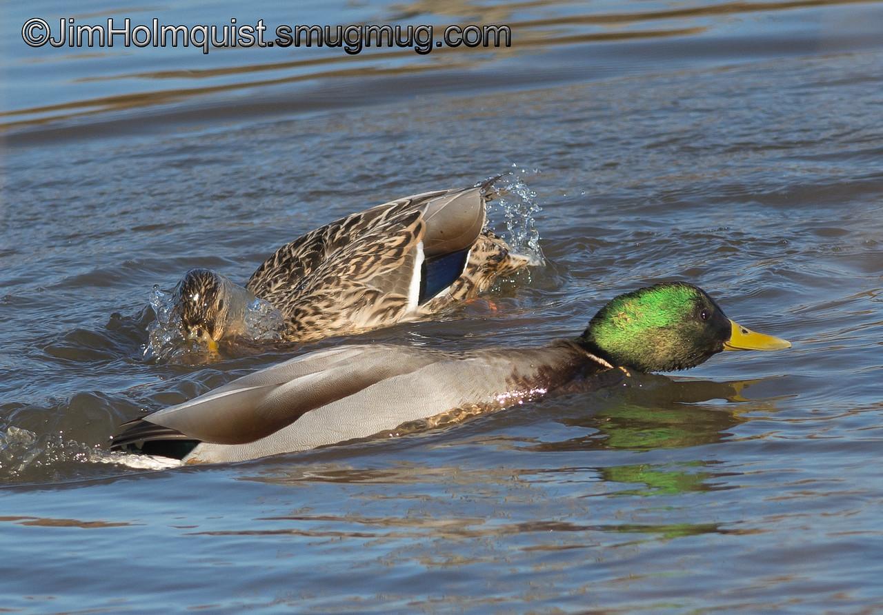 Mallards - splish, splash near Olympia, Wa.
