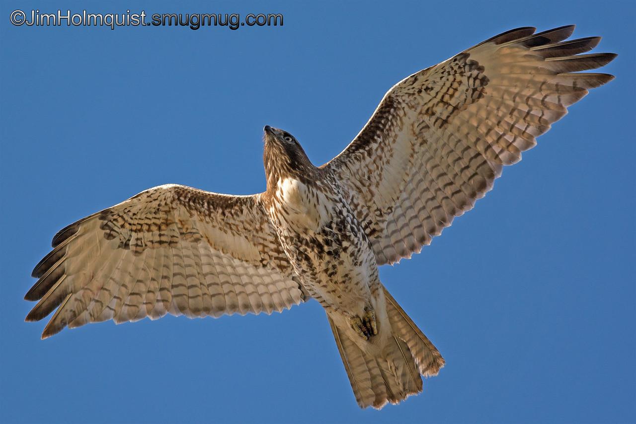Immature Red-tailed Hawk - taken near Olympia, Wa.