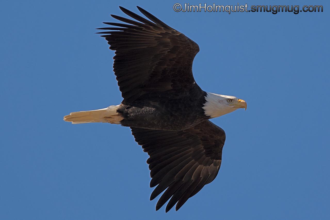 Bald Eagle - near Olympia, Wa.