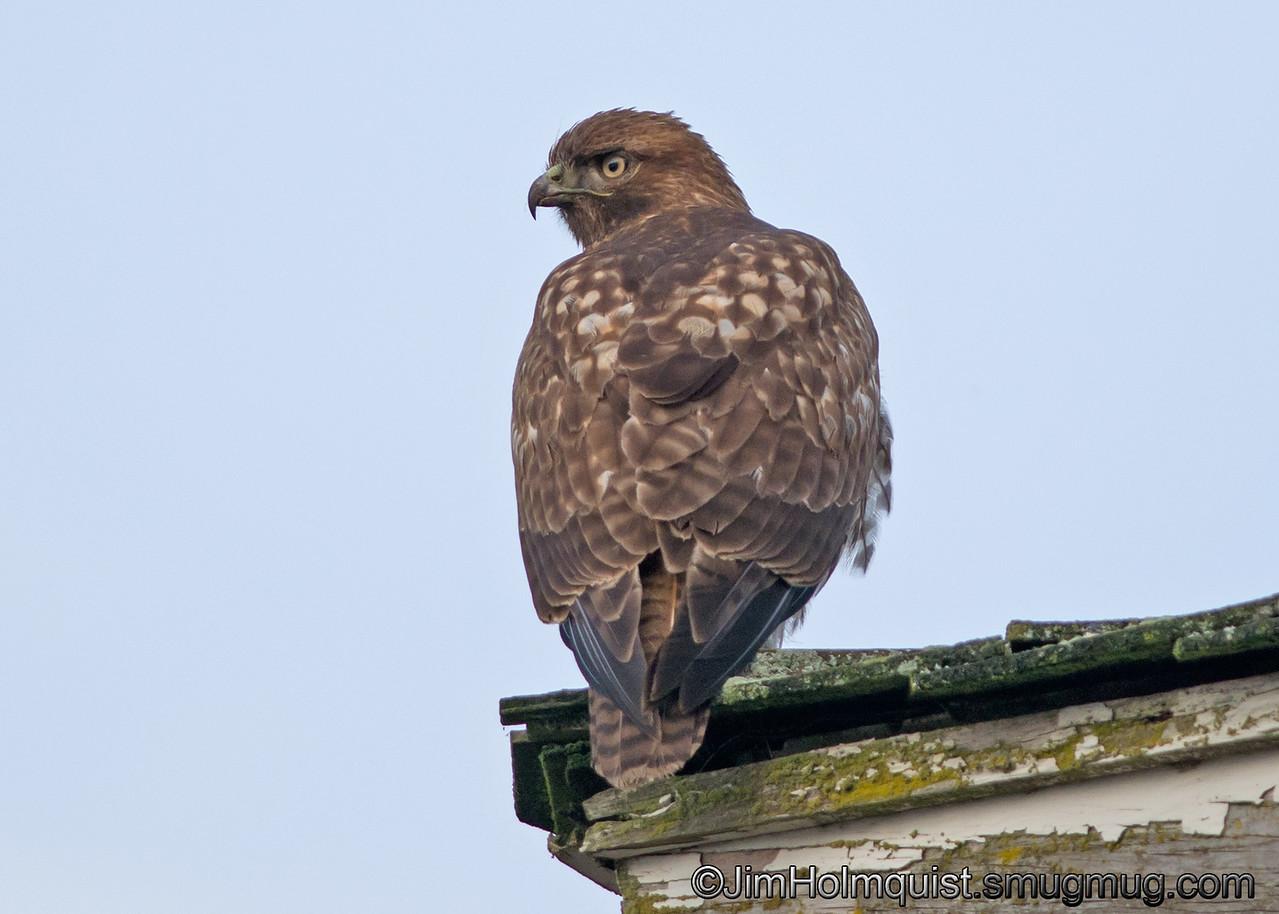 Immature Red-tailed Hawk - near Olympia, Wa.