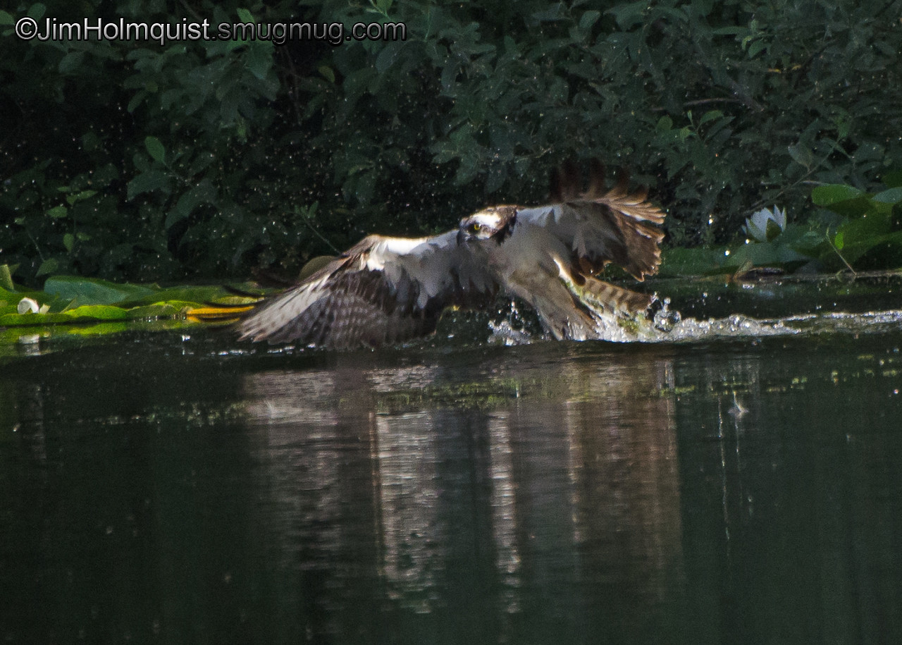 Osprey(5 of 6) - diving for a fish near Olympia, Wa. Great splash but no fish.