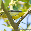 Song Birds 2 : Song Bird pictures