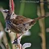 Song Birds : Song Bird pictures