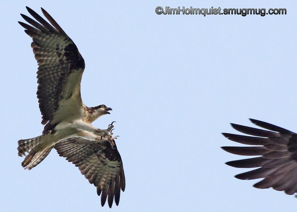 Osprey - attacking a Bald Eagle near Olympia, Wa