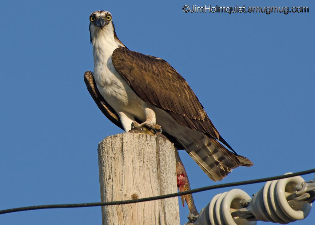 Osprey - with a large sucker near Idaho Falls, ID