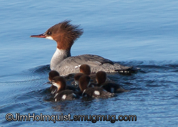 Common Merganser with ducklings - Nisqually Wildlife Refuge near Olympia, Wa