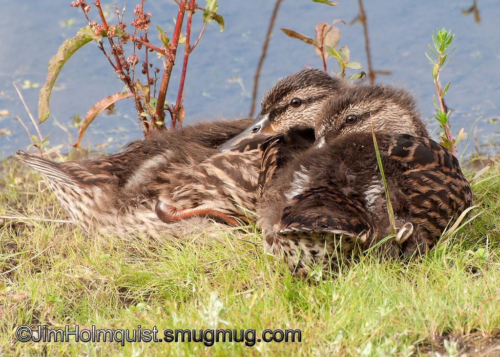 Mallard ducklings - near Olympia, Wa