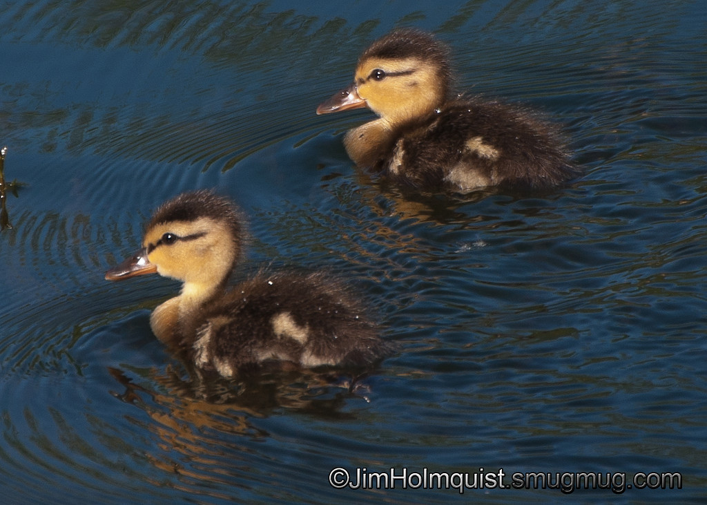 Mallard ducklings - near Olympia, Wa