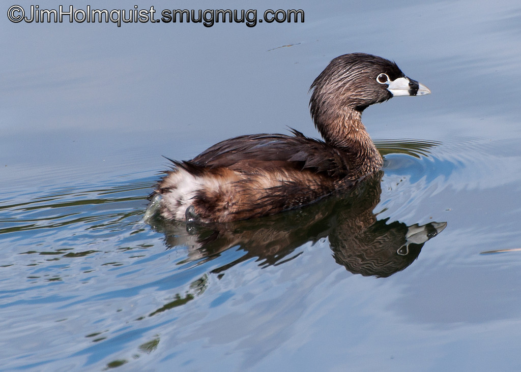 Pie-billed Grebe - near Olympia, Wa