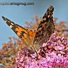 Painted Lady Butterfly - near Olympia, Wa.