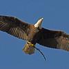 Bald Eagle - bringing a stick back for the nest.