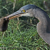 """""""V"""" is for Vole, Vermin, Varmint and Voracious large bird  I watched this strolling Great Blue Heron stop and look at the grass then suddenly he pulled out this Vole. I will post the shot of him being swallowed in the near future."""