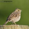 Troubadour - any wandering singer or minstrel.  Savannah Sparrow - taken near Olympia, Wa, I really appreciate the comments!