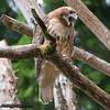 Red-tailed Hawk - near Olympia, WA. Taken in 2011.