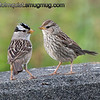 White-crowned Sparrow - Mom and Juvenile near Olympia, Wa. Taken in 2011.  I probably won't be able to post regularly this week.