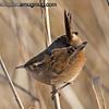 Marsh Wren - taken near Olympia, Wa.  I really appreciate the comments!