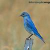 Male Mountain Bluebird - taken near Island Park, ID.  I really appreciate the comments!