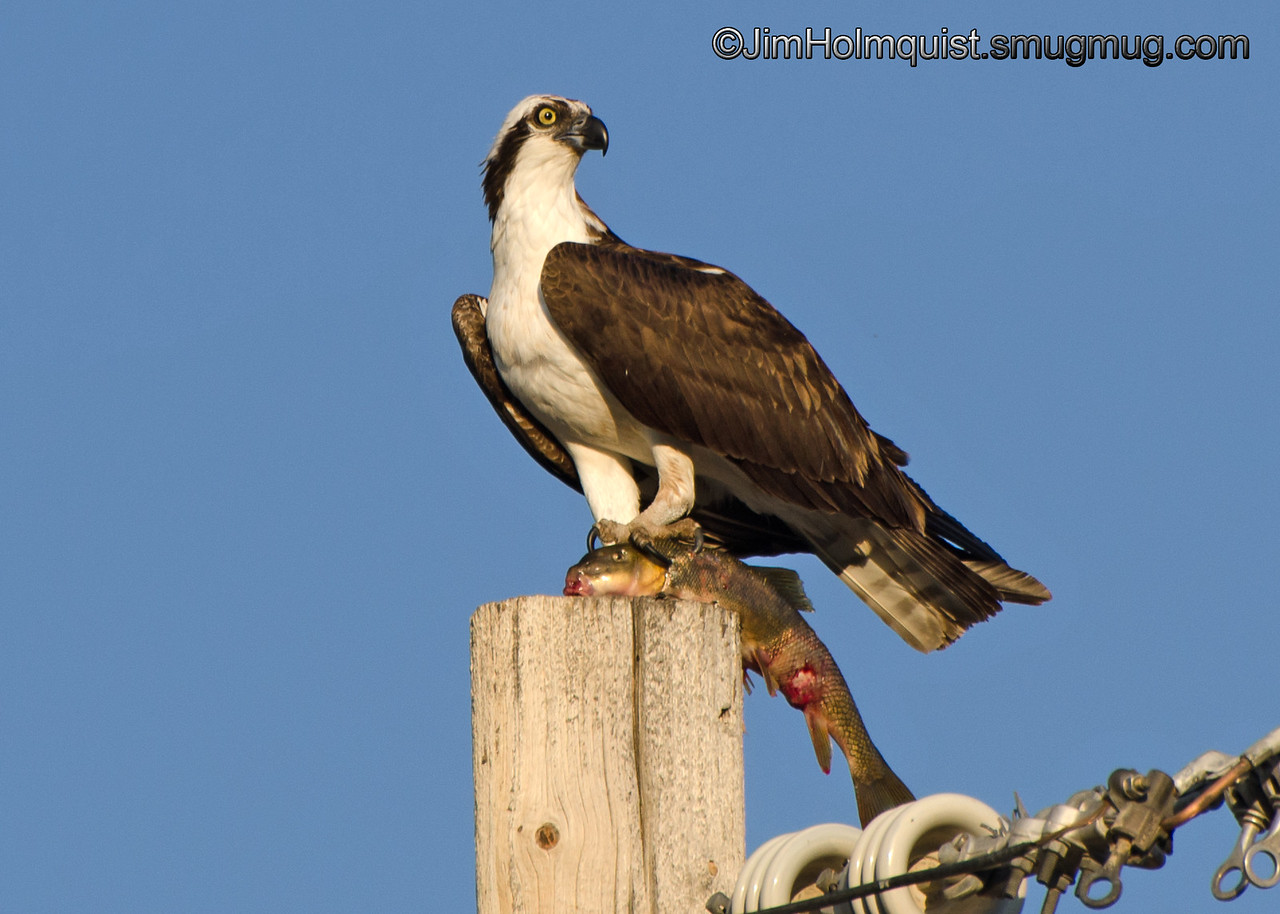Osprey - with a large sucker near Idaho Falls, ID. Taken in 2012.