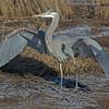 Great Blue Heron - landing near Olympia, Wa.  I really appreciate the comments!