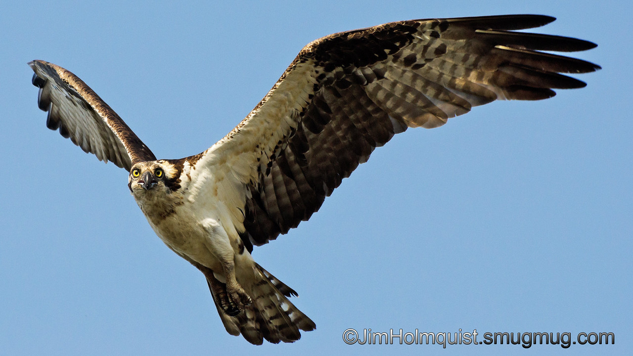 Osprey - checking me out as I watch the nest near Idaho Falls, Id