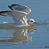 Seagull - landing near Olympia, Wa.  I really appreciate the comments!
