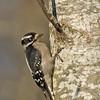 Female Downy Woodpecker - taken near Olympia, Wa.