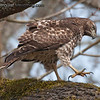 Red-Tailed Hawk - after a snack at Nisqually Wildlife Refuge near Olympia, Wa. Taken 2012.    I appreciate the nice comments on my Hutton's Vireo songbird taken at Mima Mounds near Olympia, Wa! Thanks everyone  Ilene,  i do see a lot of butterflies at Mima Mounds so I watch for opportunities to get a shot.