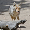 Coyote - on a trail in Yellowstone National Park. Taken in June.