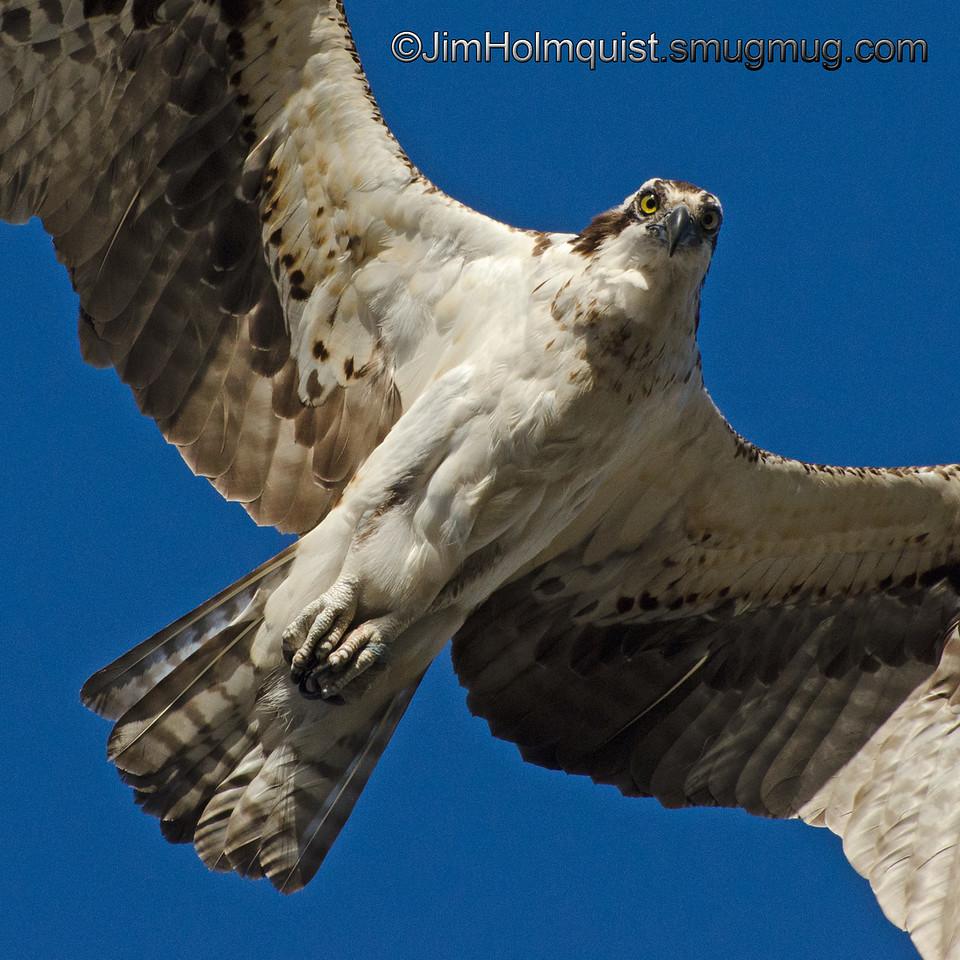 Osprey - flyover near Idaho Falls, Id. Taken in June.