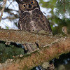 """""""O"""" is for Owl  Great-Horned Owl near Olympia, Wa."""
