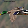 """""""S"""" is for sheen, shining and sunlight  Mallard in flight with the sheen on his head shining in the sunlight."""