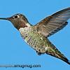 Anna's Hummingbird Male - near Olympia, Wa.