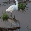 """""""G"""" is for Great Egret     Nisqually Wildlife Refuge near Olympia, Wa."""