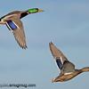 Mallards - in flight near Olympia, Wa.   I really appreciate the comments!