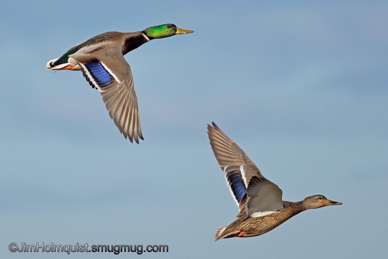 Mallards - in flight near Olympia, Wa. <br /> <br /> I really appreciate the comments!