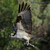 """""""F"""" is for Fishing  Osprey with a tasty catch."""