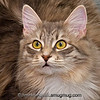 """""""M"""" above the eyes   This is Eve my son's cat. I wasn't thinking about the letter when I took this picture tonight but the M jumped out at me when I was going through the pictures. As I understand it this is a common pattern in Tabby's and related breeds."""