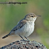 Rock Wren - very curious birds that landed quite close so no sneaking needed this time :) Taken at Snake River Birds of Prey area near Kuna, ID.