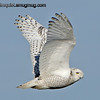 Snowy Owl - near Ocean Shores, Wa. Taken in 2013.  I've been busy with other activities lately so I haven't had much time for photography but hopefully that will improve over the next few months.