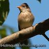 Willow Flycatcher - Scattercreek near Olympia, Wa. Taken in 2010.