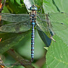 Dragonfly - taken at Nisqually Wildlife Refuge near Olympia, Wa.  Update - I believe this is a Blue-eyed Darner. It landed vertically on the leaf so I was able to take the shot without having to move.