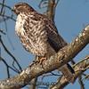 Red-tailed Hawk - Nisqually Wildlife Refuge near Olympia, Wa. Taken in 2012.