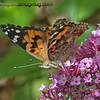 Painted Lady Butterfly - Taken near Olympia, Wa.  Update: thank you for the ID