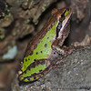 """""""T"""" is for tree frog  Pacific Tree Frog at Nisqually Wildlife Refuge. Taken in September."""
