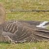 Greater White-fronted Goose - taken near Olympia, Wa.