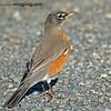 American Robin - common but cooperative. Taken near Olympia, Wa.  I really appreciate the comments!