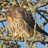 Red-Tailed Hawk - near Olympia, Wa. Taken in September 2013.