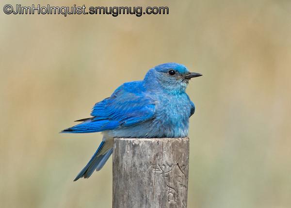 8/22/2015 Male Mountain Bluebird - taken near Island Park, ID.  I really appreciate the comments!