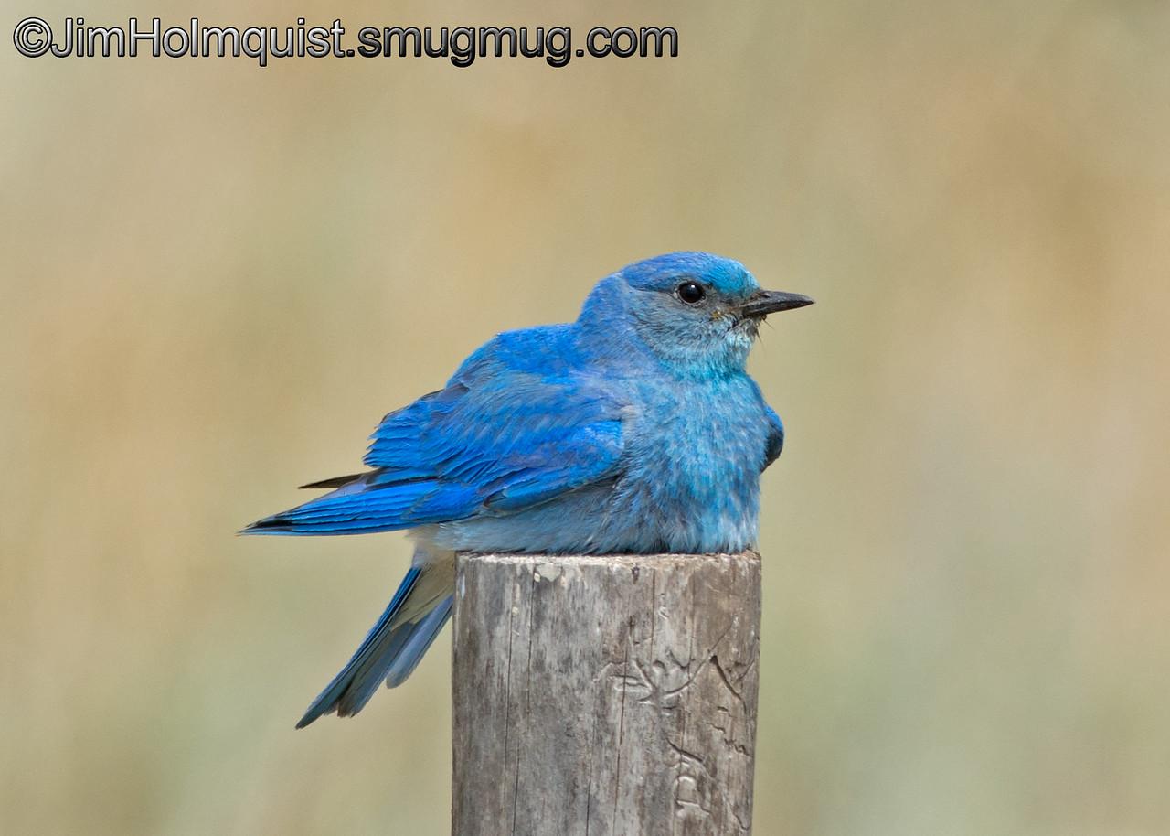 8/22/2015<br /> Male Mountain Bluebird - taken near Island Park, ID.<br /> <br /> I really appreciate the comments!